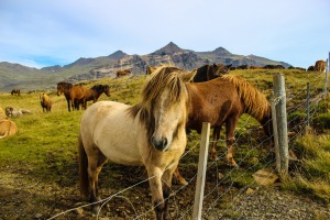 hofn horses