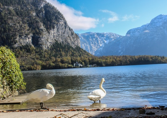 hallstatt swans bathe by the waterside