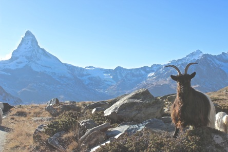 zermatt goat attention