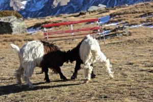 zermatt goat battle