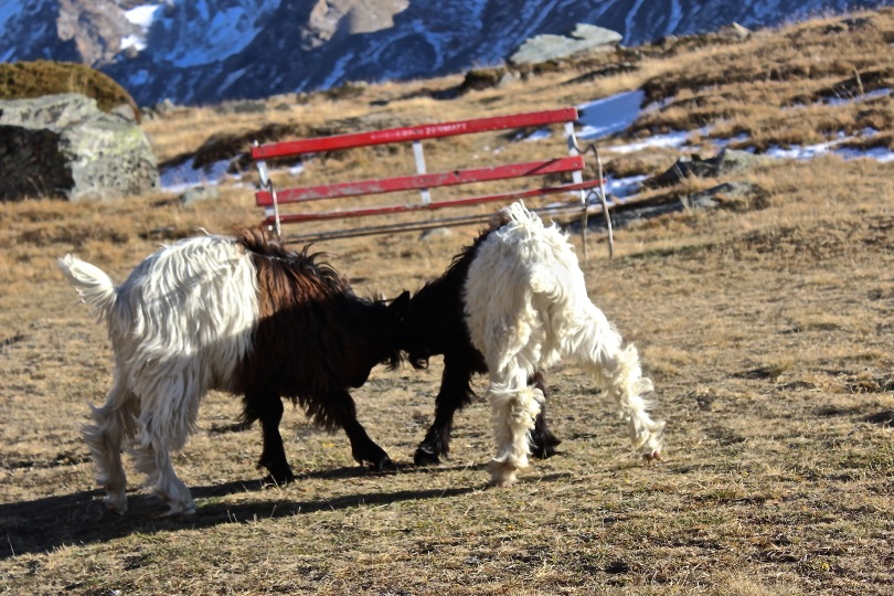 zermatt goat battle