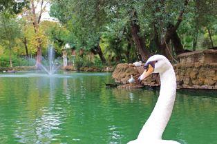 swan photobomb